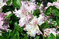 Rhododendron Love Lace 1zz.jpg