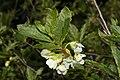Rhododendron albiflorum 0239.JPG