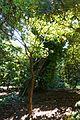 Rhododendron calophytum - VanDusen Botanical Garden - Vancouver, BC - DSC07225.jpg