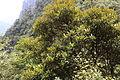 Rhododendron simiarum - Mount Sanqing 2015.09.08 11-47-59.jpg