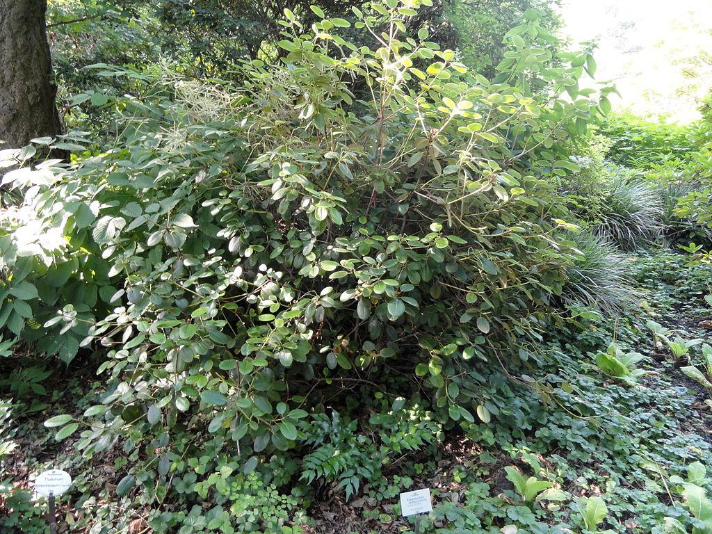datei rhododendron williamsianum botanischer garten. Black Bedroom Furniture Sets. Home Design Ideas