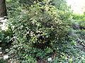 Rhododendron williamsianum - Botanischer Garten, Frankfurt am Main - DSC03367.JPG