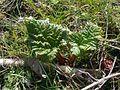 Rhubarbes jumelles à Grez-Doiceau 001.jpg