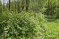 Ribes nigrum kz09.jpg