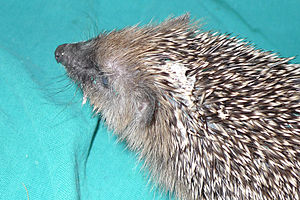 Self-anointing in animals - Frothy saliva visible on the head of a juvenile male European hedgehog after self-anointing.