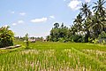 Rice fields (17032636066).jpg