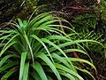 Richea pandanifolia fragment5.jpg