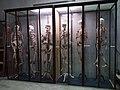 Rillieux-la-Pape - Musée Testut-Latarjet, vitrine des squelettes.jpg