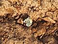 River tern-Broken eggs02 - Koyna 042011.JPG