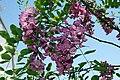 Robinia pseudoacacia Purple Robe 0zz.jpg