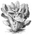 Romaine alphange Vilmorin-Andrieux 1883.png
