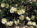 Rosa 'Dunwinch Rose'.jpg