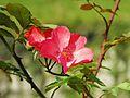 Rosa 'Hanseat' 01.jpg