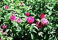 Rosa 'Surpasse Tout'.jpg