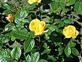 Rosa Arthur Bell 2019-05-29 4130.jpg