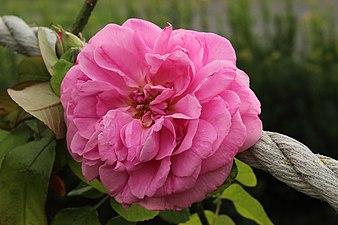 Rosa Gertrudde Jekyll.jpg
