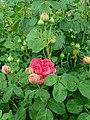 Rosa Lady of Megginch 2019-06-07 1242.jpg