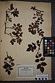 Rosa canina herbarium (02).jpg