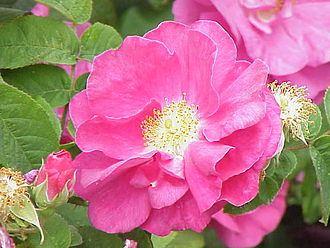 Red Rose of Lancaster - Rosa gallica var. officinalis