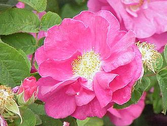 Red Rose of Lancaster - Rosa gallica var. officinalis