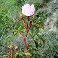 Rosa rubiginosa inflorescence (13).jpg