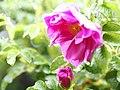 Rose, Pierette Pavement, バラ, ピーレッテ ペーブメント, (8729220498).jpg
