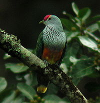 Rose-crowned Fruit-dove Dayboro