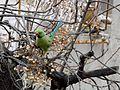 Rose-ringed parakeet in Jerusalem 004.JPG