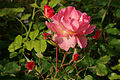 Rose 3 FR 2012.jpg