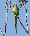 Rosed-Ringed Parakeet דררה.jpg