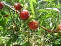 Roselle plant in kerala.jpg