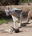 Rotes Riesenkaenguru Macropus rufus Tierpark Hellabrunn-15.jpg