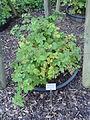 Rubus arduennensis - Botanischer Garten, Frankfurt am Main - DSC02468.JPG