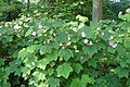 Rubus odoratus kz01.jpg