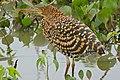Rufescent Tiger Heron (Tigrisoma lineatum) immature (31473473576).jpg