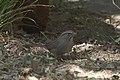 Rufous-crowned Sparrow Patagonia AZ 2017-05-02 10-00-18 (33626581503).jpg