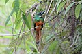 Rufous-tailed Jacamar (Galbula ruficauda) (5772450474).jpg