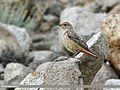 Rufous-tailed Rock-thrush (Monticola saxitilis) (37565084042).jpg