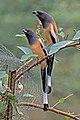 Rufous treepie (Dendrocitta vagabunda vagabunda) Jahalana 3.jpg