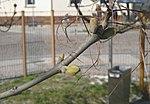 Ruhland, Dresdener Str. 40, Blumen-Esche Knospen, Frühling, 01.jpg