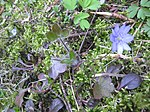 Ruhland, Grenzstr. 3, Leberblümchen im Garten, blühende Pflanze, Frühling, 01.jpg