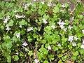 Ruhland, Grenzstr. 3, Mauer-Zimbelkraut im Garten, blühend, Frühling, 07.jpg