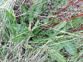 Rumex crispus Leaves 2009December07 DehesaBoyalPuertollano.jpg
