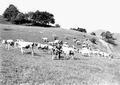Sömmerungsvieh auf einer Alp auf dem Dietisberg - CH-BAR - 3240583.tif
