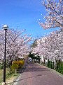 SAKURA road.jpg