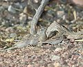 SPARROW, BOTTERI'S (3-11-11) 78 circulo montana, patagonia lake ranch estates, scc, az -01 with brewer's sparrows (5520660515).jpg
