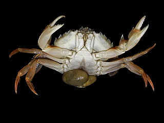 Sacculinidae family of crustaceans