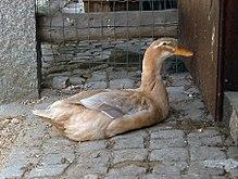 Saxony duck - Wikipedia