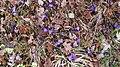 Saffron - Crocus vernus 15.jpg