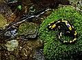 Salamandra salamandra - šareni daždevnjak; Predeo izuzetnih odlika Vršačke planine.jpg
